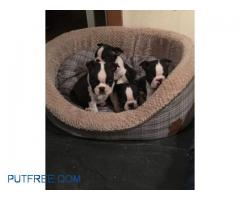 Boston Terrier babies willing to find their new home