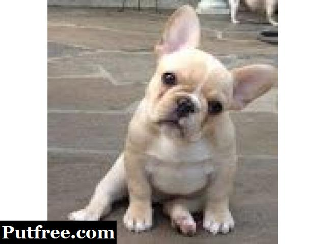 11weeks old french bull puppies for sale now