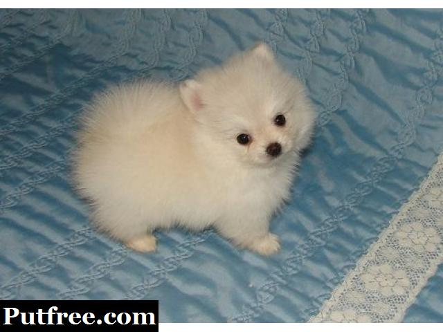 Pomeranian puppies are now ready for sale for a new home