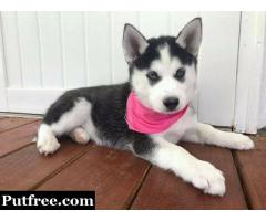 MALE AND FEMALE SIBERIAN HUSKY FOR SALE INTO GOOD HOMES