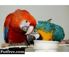 Hyacinth Macaw,Blue and Gold Macaw,African Grey For Sale