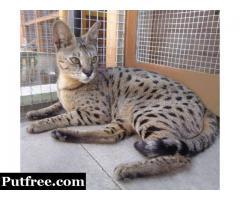 Available F2 Savannah Cat F3 Savannah F4 Savannah Male and Female