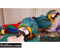 Extremely beautiful baby Macaw blue and gold