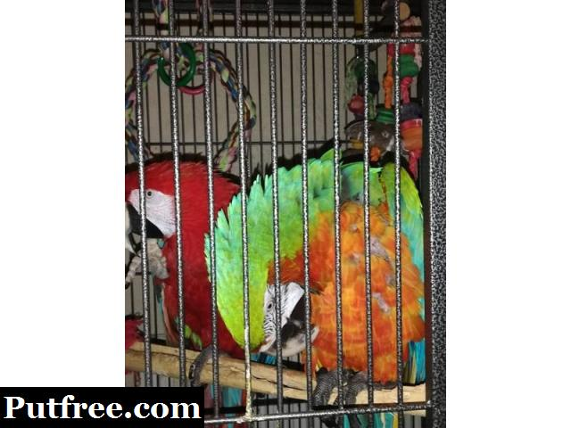 Well tamed Female Catalina macaw