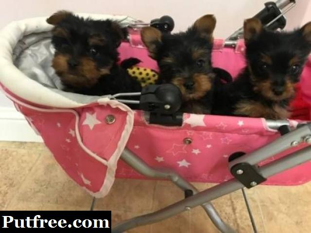 Free available Yorkshire pups for free adoption