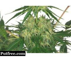 Shop finest bomb CBD feminized seeds