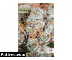 Buy highest quality orange bud seeds online