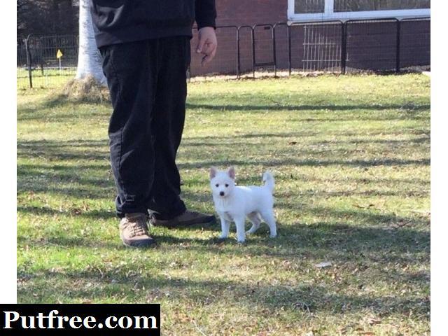 Pomsky Puppies Email:tony79742@gmail.com