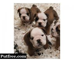 English Bulldog puppies ready now