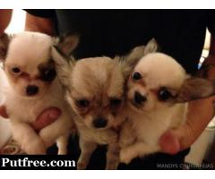 Beautiful  Chihuahua Pups
