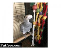 Male Fully Talking African Gray Parrot
