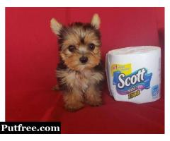 Yorkie puppies for adoption text (770) 765-0638