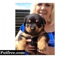 GORGEOUS ROTTWEILER PUPPIES TEXT(814) 205-6427‬
