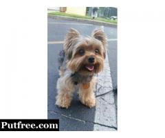 Pure Breed Yorkshire Terrier Tiny Pup