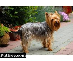 Beautiful Girl Blueberry Yorkshire Terrier