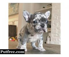 French Bulldogs Kc Reg Available Now