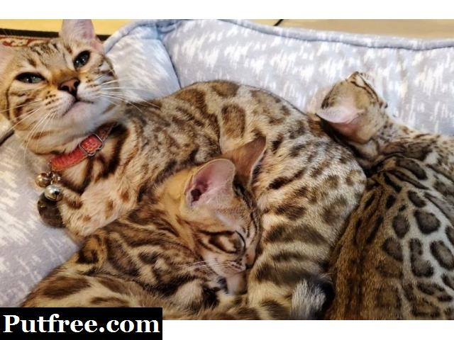 Lovely Male And Female Bengal Kittens For Sale.
