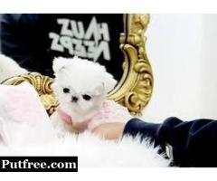Best Maltese Puppies for Sale
