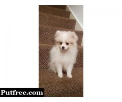 FEMALE WHITE CREAM POMERANIAN PUPPY FOR SALES