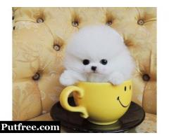 PURE BREED FEMALE POMERANIAN PUPPY
