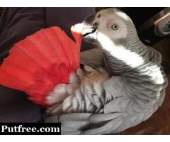 PURE BREED AFRICAN GREY PARROT AVAILABLE