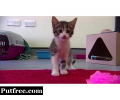 PURE BREED FEMALE WHITE/BLACK KITTENS FOR SALES