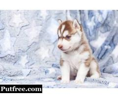 Siberian Husky puppies and Adorable French bulldogs for sale.