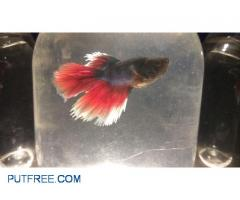 Male Bettas 5 month home breed