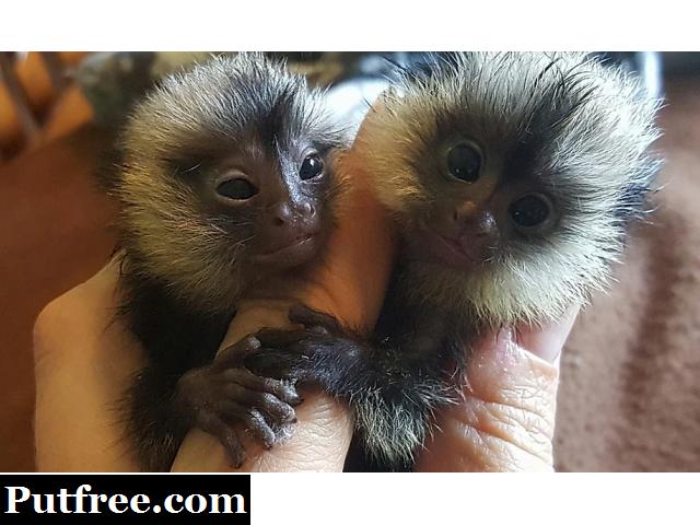 Marmoset monkeys available. txt 971-318-3477