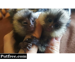 Marmoset monkeys available. txt 971-318-3477