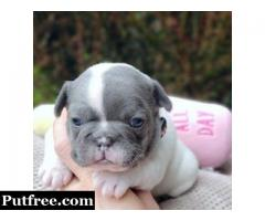 BUY French BullDogs Online NOW