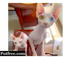 Sphynx kittens for adoption