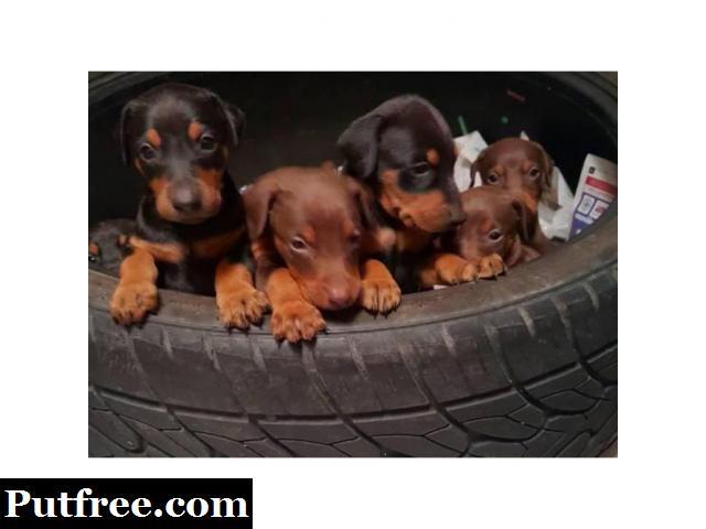 Black & Rust, Fawn & Rust Doberman Pinscher ((585) 357-2327 )