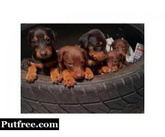 Black & Rust, Fawn & Rust Doberman Pinscher ((585) 357-2327 )