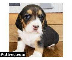 cute beagles for Rehoming