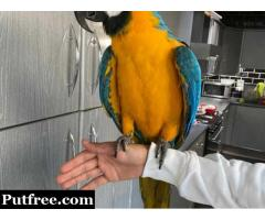 healthy  Blue and gold macaw  ready now