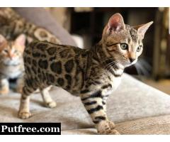 Classy Bengal Kittens for Sale in USA
