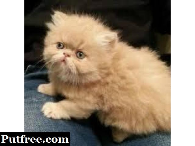 Adorable and Classy Persian Kittens for Sale