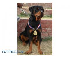 Rottweiler 4 a stud service 10000