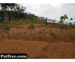 5.75 Acres of Rubber Plantation for Sale