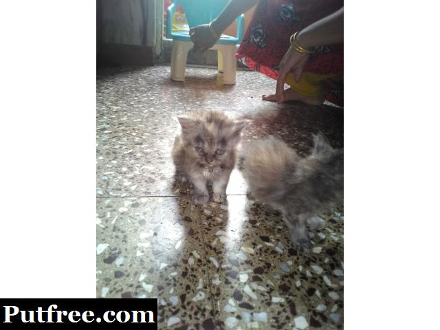 persian kittens two pairs