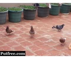 Racing pigeon for sale
