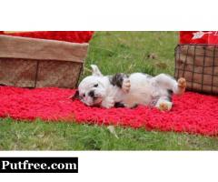 Good Looking English Bulldog Puppies Available for sale