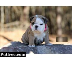 Very Sweet Charming English Bulldog Puppies for sale now