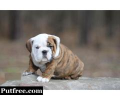 Quality Registered Male and Female English Bulldog puppies