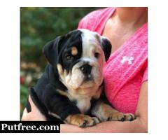 Summer English Bulldog Puppies Ready for New Family