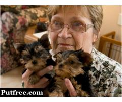 Excellent Tea-Cup Yorkie Puppies