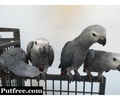 Adorable Talking parrots for sale
