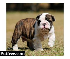 AKC registered English Bulldog Puppy for adoptions +14695670990