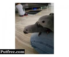 Talking African Grey Parrot Babies with Cage